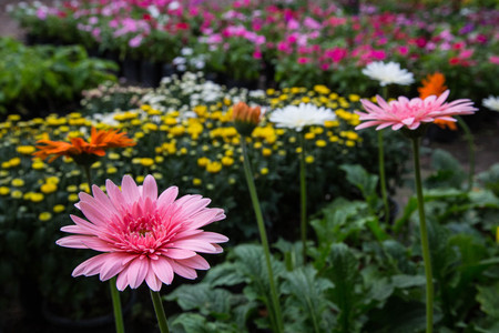 colorful Chrysanthemum flowers growing up in the garden