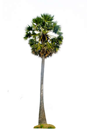 Sugar palm tree isolated on white background.Borassus flabellifer, known by several common names, including Asian Palmyra palm, Toddy palm, Sugar palm, or , tropical tree in the northeast of Thailand Stock Photo