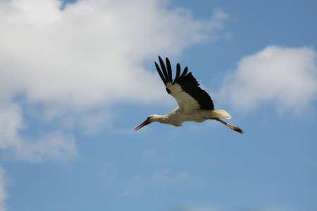 clody: White stork flying on blue clody sky