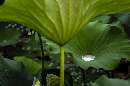 Lotus leaf in the rain