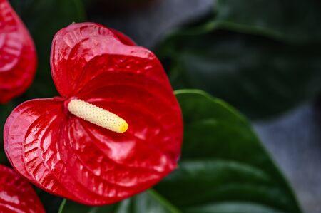 Anthurium andraeanum Linden