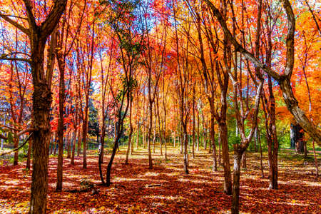 Autumn landscape of red leaves in Nanhu Park, Changchun, China Banque d'images