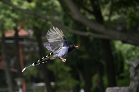 Formosan Blue Magpie photo