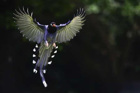 Formosan blaue Elster