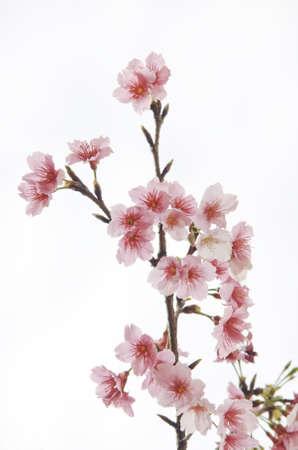flor de sakura: Sakura flores Foto de archivo