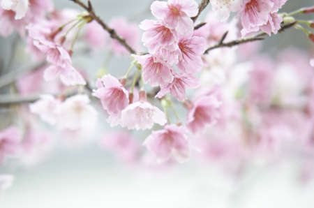Sakura flower photo