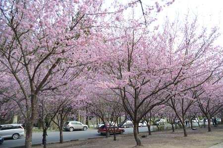 flor de sakura: Sakura flores Editorial