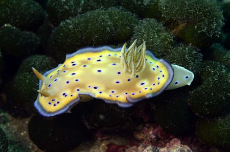 Phyllidia ocellata and Chromodoris kuniei photo