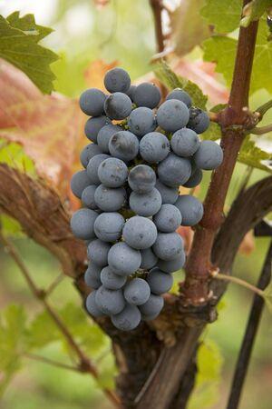 cabernet: Uvas Cabernet Sauvignon