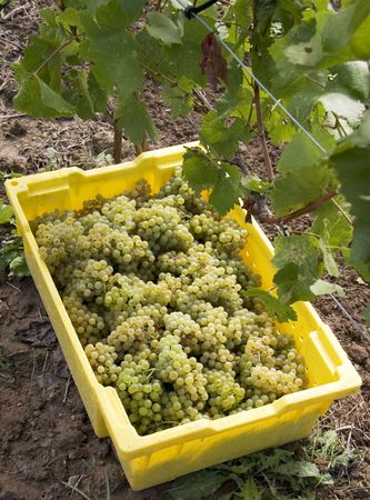 white wine: White Wine Grapes