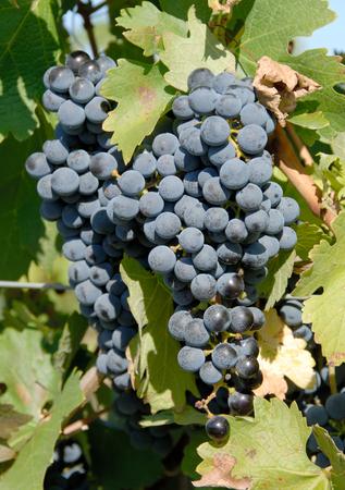 Cabernet Sauvignon Grapes Stock Photo - 1720529