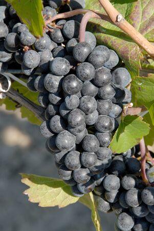 Gamay Grapes Stock Photo