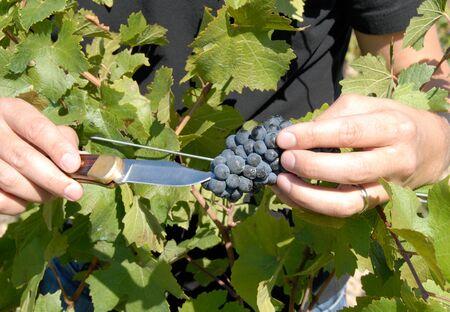 pinot noir: Pinot Noir Grapes Stock Photo