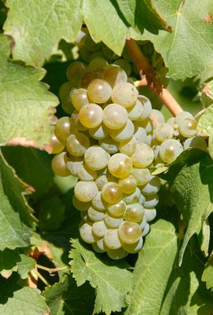 sauvignon blanc: Sauvignon Blanc Grapes