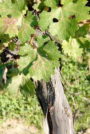 cabernet: Cabernet Sauvignon Vines