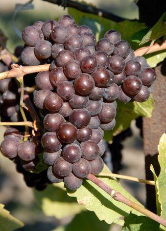 pinot: Pinot GrisGrigio Grapes