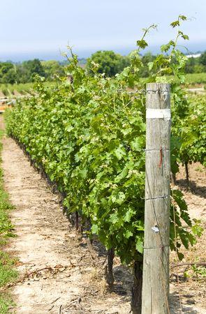 Vineyard Фото со стока