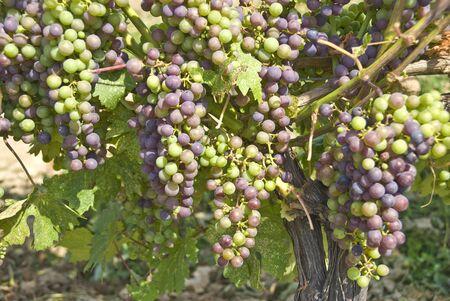 Ripening Cabernet Sauvignon Grapes on the Vine Фото со стока