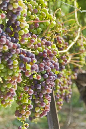 cabernet: Maduraci�n uva Cabernet Sauvignon en la vid
