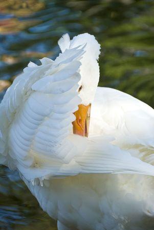 Blanco Pato Acicalamiento misma Foto de archivo - 3511787