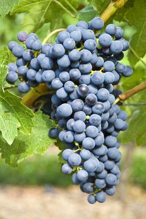 포도밭 (Cabernet Sauvignon)의 레드 와인 포도 스톡 콘텐츠