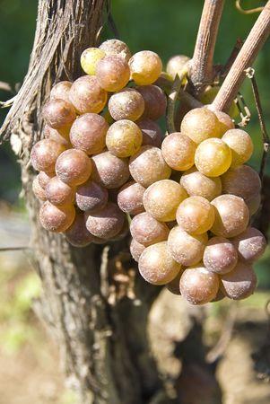 pinot: Pinot GrisGrigio in the Vineyard Stock Photo