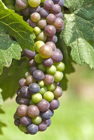 Cabernet Franc Grapes Ripening on the Vine Фото со стока