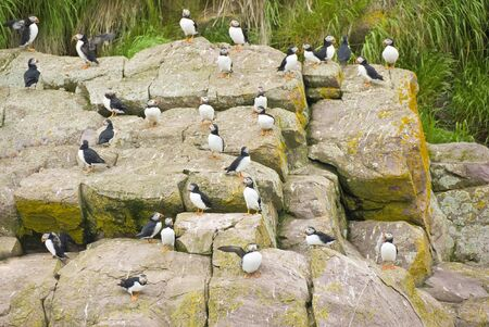 puffins: Puffins on a Rocky Cliff