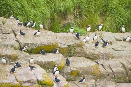 Puffins on a Rocky Cliff