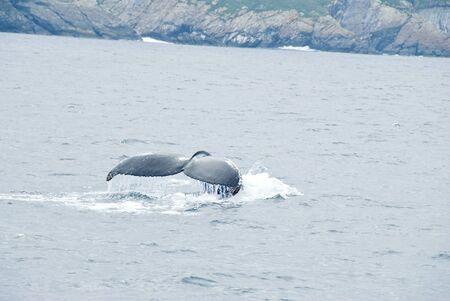 Humpback Whale in the Atlantic Ocean Stock Photo