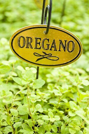 Fresh Oregano Herb 版權商用圖片
