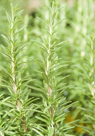 Fresh Rosemary Herb 版權商用圖片