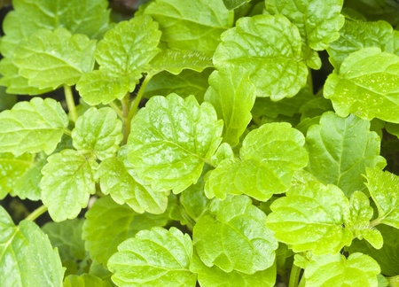 balm: Fresh Lemon Balm Herbs Stock Photo