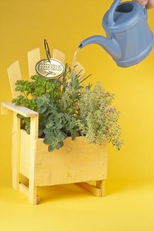 water thyme: Hierbas frescas mezcladas en una jardinera Muskoka silla amarilla