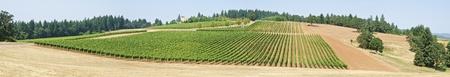 willamette: Panorama of a Vineyard in Willamette Valley