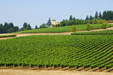 Vineyard in Willamette Valley Stockfoto - 10698756