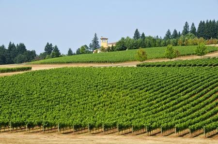 willamette: Vineyard in Willamette Valley