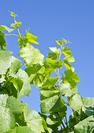 pinot noir: Pinot Noir Grape Leaves
