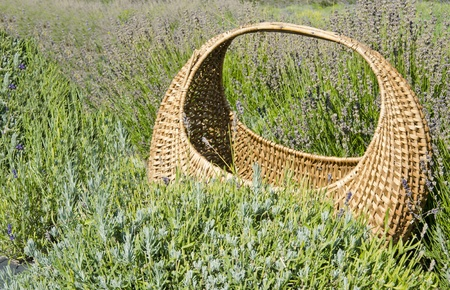 Basket in a Field of Gray Lavender photo