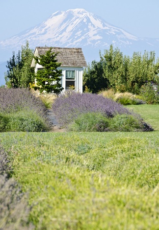 Lavender Farm and Mount Adams photo