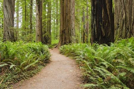 California Redwoods photo