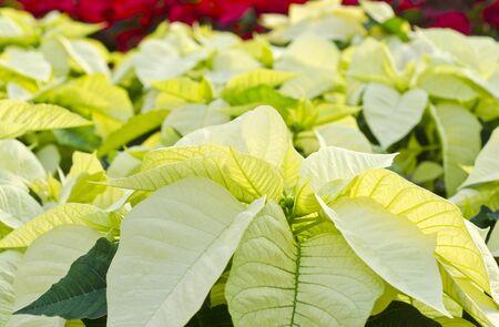 White Poinsettias photo