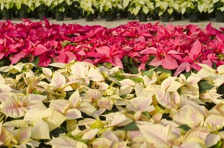plant nursery: Colorful Poinsettias in a Plant Nursery Stock Photo