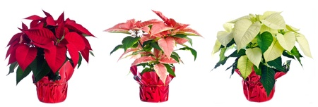 Three Pots of Poinsettia Isolated on White Banco de Imagens