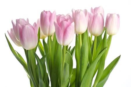 pink tulips: Pretty Pink Tulips Stock Photo