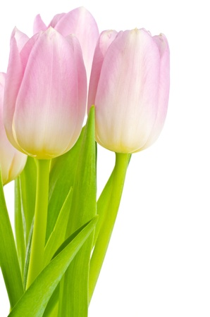 perennials: Pretty Pink Tulips Stock Photo