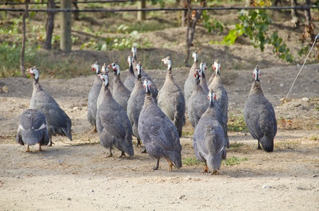 African Guinea Hens in a Vineyard  photo