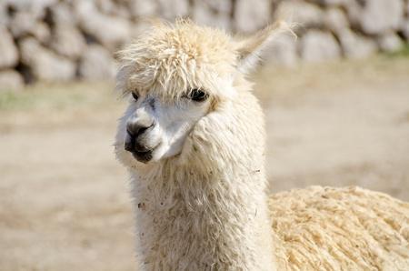 Gedomesticeerde Alpacas