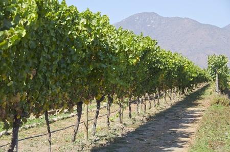 Organic Vineyard in Casablanca Valley Chile Stockfoto