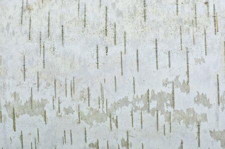 白樺の木のテクスチャのクローズ アップ